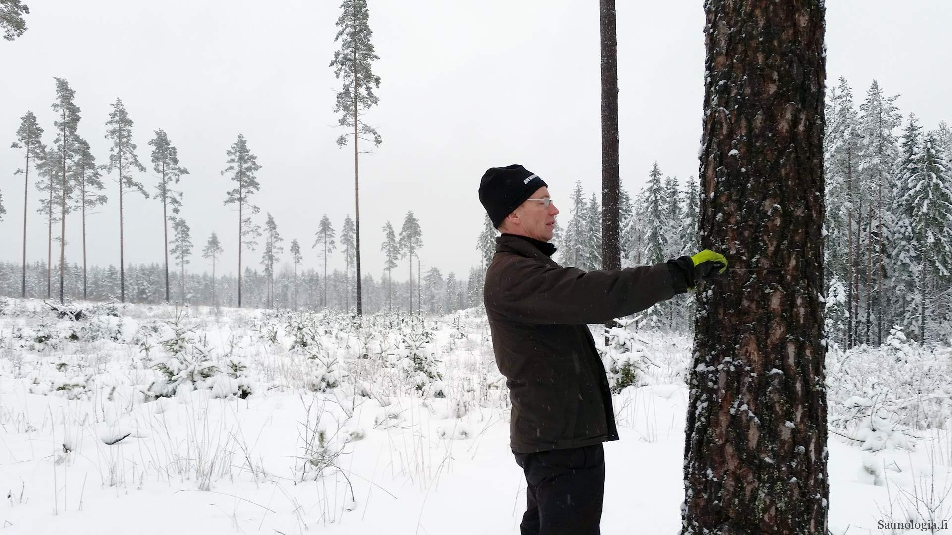 Hirsiveistäjä Kari Peltola mittaa potentiaalista rakennuspuuta metsässä
